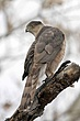 Hawk-Coopers-03-FJBergquist.jpg