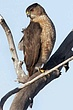 Hawk-Coopers-10-FJBergquist.jpg