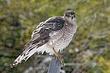 Hawk-Coopers-13-FJBergquist.jpg