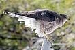 Hawk-Coopers-15-FJBergquist.jpg