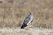 Hawk-Northern-Harrier-02-FJBergquist.jpg