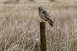 Hawk-Northern-Harrier-05-FJBergquist.jpg