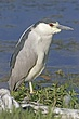 Heron-Black-crowned-night-06-FJBergquist.jpg