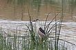 Heron-Black-crowned-night-08-FJBergquist.jpg