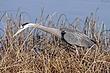 Heron-Great-blue-03-FJBergquist.jpg