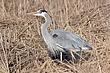Heron-Great-blue-08-FJBergquist.jpg