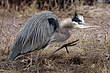 Heron-Great-blue-09-FJBergquist.jpg