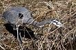 Heron-Great-blue-15-FJBergquist.jpg