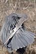 Heron-Great-blue-18-FJBergquist.jpg