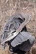 Heron-Great-blue-19-FJBergquist.jpg