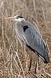 Heron-Great-blue-55-FJBergquist.jpg