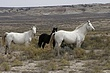 Horses-Wild-001-FJBergquist.jpg