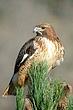 Howk-Red-tailed-02-FJBergquist.jpg