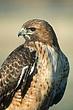 Howk-Red-tailed-03-FJBergquist.jpg