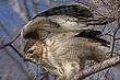 Howk-Red-tailed-05-FJBergquist.jpg
