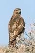 Howk-Red-tailed-23-FJBergquist.jpg