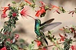 Hummingbird-Broad-billed-02-FJBergquist.jpg