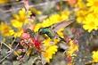 Hummingbird-Broad-billed-03-FJBergquist.jpg
