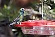 Hummingbird-Broad-billed-13-FJBergquist.jpg