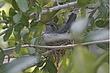 Hummingbird-Broad-billed-14-FJBergquist.jpg