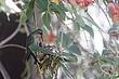 Hummingbird-Broad-billed-18-FJBergquist.jpg