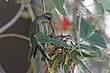 Hummingbird-Broad-billed-22-FJBergquist.jpg