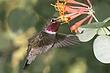 Hummingbird-Broad-tailed-003-FJBergquist.jpg