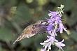 Hummingbird-Broad-tailed-008-FJBergquist.jpg