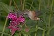 Hummingbird-Broad-tailed-011-FJBergquist.jpg