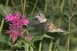 Hummingbird-Broad-tailed-013-FJBergquist.jpg