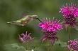 Hummingbird-Broad-tailed-022-FJBergquist.jpg