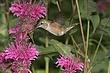 Hummingbird-Broad-tailed-029-FJBergquist.jpg