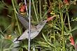 Hummingbird-Broad-tailed-033-FJBergquist.jpg