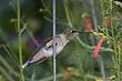 Hummingbird-Broad-tailed-034-FJBergquist.jpg
