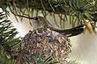 Hummingbird-Broad-tailed-044-FJBergquist.jpg