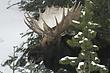 Moose-Wyoming-001-FJBergquist.jpg