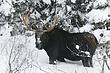 Moose-Wyoming-004-FJBergquist.jpg