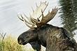 Moose-Wyoming-010-FJBergquist.jpg