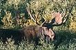 Moose-Wyoming-016-FJBergquist.jpg
