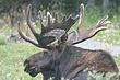 Moose-Wyoming-023-FJBergquist.jpg