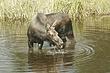 Moose-Wyoming-047-FJBergquist.jpg