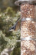 Nuthatch Red-breasted-007-FJBergquist1.jpg