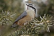 Nuthatch Red-breasted-008-FJBergquist1.jpg