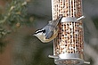 Nuthatch Red-breasted-009-FJBergquist1.jpg
