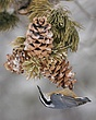 Nuthatch Red-breasted-023-FJBergquist1.jpg