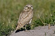 OWL BURROWING-037-FJBergquist.jpg