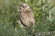 OWL BURROWING-040-FJBergquist.jpg