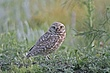 Owl-Burrowing-015-FJBergquist.jpg