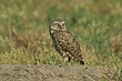 Owl-Burrowing-020-FJBergquist.jpg
