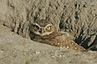 Owl-Burrowing-031-FJBergquist.jpg